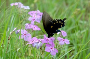 Pipevine swallowtail (Battus philenor) pollinating a Phlox drummondii flower