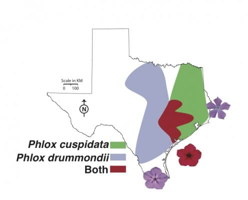 The distribution of Phlox drummondii and Phlox cuspidata throughout Texas. Both species have light blue flowers throughout most of their ranges, but P. drummondii has dark red flowers in the region where both species co-occur.